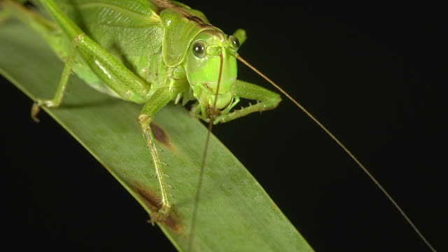 vidéos et rushes de ecu shot of great green brush cricket, tettigonia viridissima, adult resting on blade of grass / calvados, normandy, france  - mise au point au second plan