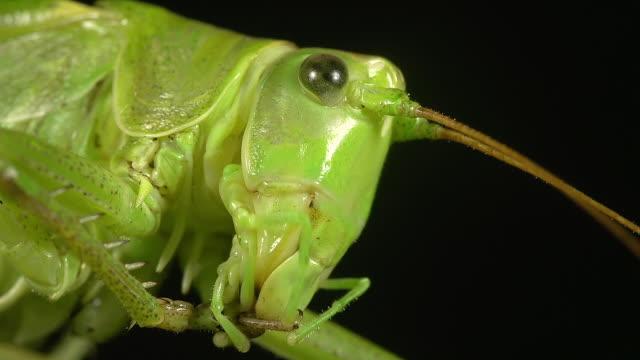 ecu shot of great green brush cricket, tettigonia viridissima, adult resting on blade of grass / calvados, normandy, france  - calvados stock-videos und b-roll-filmmaterial