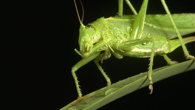 ecu shot of great green brush cricket, tettigonia viridissima, adult resting on blade of grass, grooming / calvados, normandy, france  - cricket insect stock videos and b-roll footage