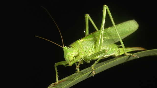 cu shot of great green brush cricket, tettigonia viridissima, adult resting on blade of grass, grooming / calvados, normandy, france  - calvados stock-videos und b-roll-filmmaterial