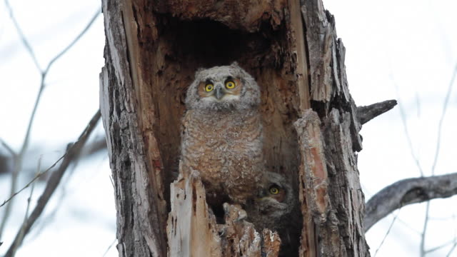 MS Shot of great horned owl brings rabbit to nest to feed her young owlets / Boulder, Colorado, United States