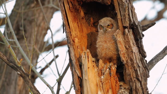 MS Shot of Great horned owlet stretching wings in nest  / Boulder, Colorado, United States