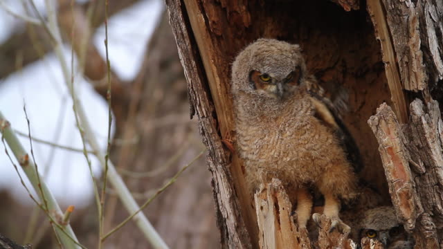 cu shot of great horned owlet stretching wings in nest while 2 siblings watching / boulder, colorado, united states - horned stock videos & royalty-free footage