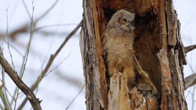 CU Shot of Great horned owlet stretching wings in nest while 2 siblings watching / Boulder, Colorado, United States