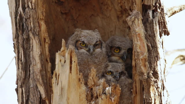 CU Shot of Great horned owlet waiting for mom return / Boulder, Colorado, United States