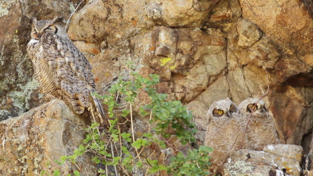 MS Shot of Great horned owlets in cliff nest with mom / Estes Park, Colorado, United States