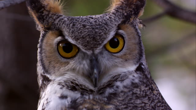 vídeos de stock, filmes e b-roll de shot of great horned owl's head swiveling and hooting. - olho de animal