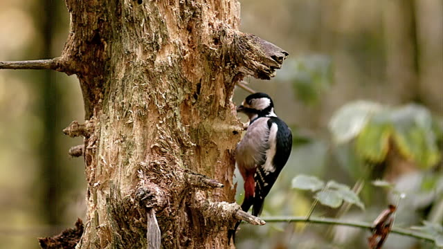 ms slo mo shot of great spotted woodpecker doing hole in tree to finding food / vieux pont en auge, normandy, france - woodpecker stock videos & royalty-free footage