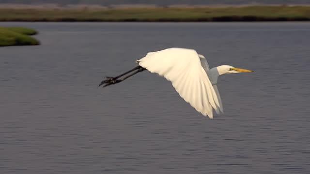 ms slo mo ts shot of great white egret (egretta alba) flying over chobe river at okavango delta / chobe game reserve, africa, botswana - great egret stock videos & royalty-free footage
