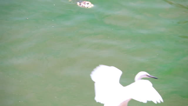 slo mo shot of great white egret, - egret stock videos and b-roll footage