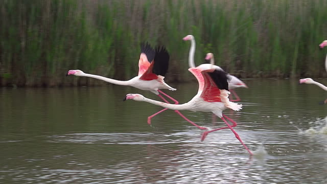 ms ts slo mo shot of greater flamingo (phoenicopterus ruber roseus) group taking off in flight in south east of france / saintes marie de la mer, camargue, france - flamingo stock-videos und b-roll-filmmaterial