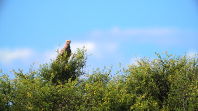 MS Shot of Greater kestrel (Falco rupicoloides) perching in tree / Addo Elephant National Park, Eastern Cape, South Africa