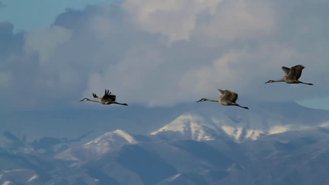 MS TS Shot of Greater sandhill cranes flying to feeding grounds in front of snow capped peaks / Monte Vista, Colorado, United States
