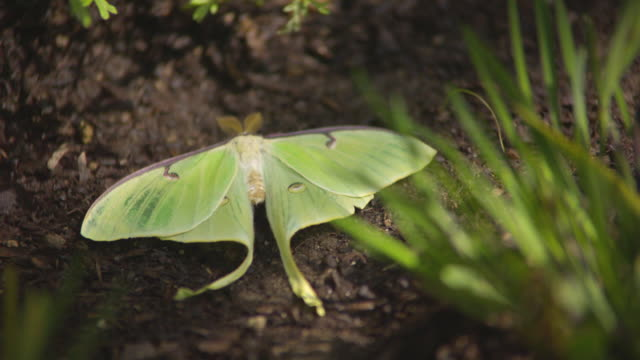 cu slo mo shot of green luna moth laying in dirt / santa barbara, california, united states - pollination stock videos & royalty-free footage