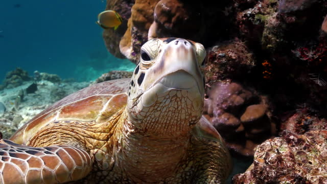 cu shot of green turtle looking at towards / sipadan, semporna, tawau, malaysia - green turtle stock videos & royalty-free footage