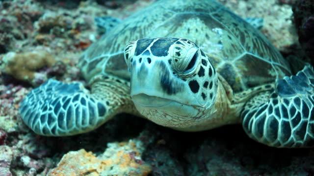 cu ts shot of green turtle looking towards / sipadan, semporna, tawau, malaysia - green turtle stock videos & royalty-free footage
