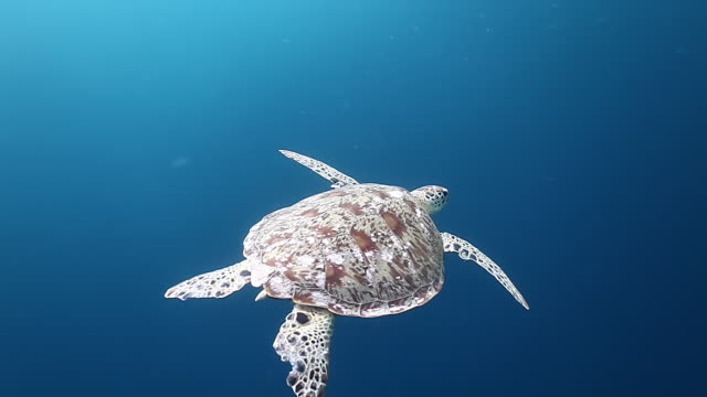 MS TS Shot of Green turtle swimming in blue water / Sipadan, Semporna, Tawau, Malaysia