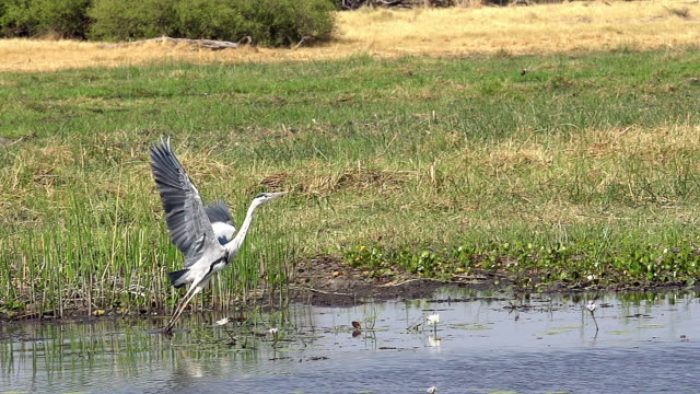 ms ts slo mo shot of grey heron (ardea cinerea) adult in flight, taking off from khwai river at okavango delta forest area / chobe game reserve, africa, botswana - bunter reiher stock-videos und b-roll-filmmaterial