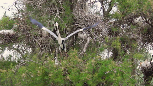 ms ts slo mo shot of grey heron, ardea cinerea, adult in flight, taking off from nest, camargue in south of france / saintes maries de la mer, camargue, france - heron stock videos & royalty-free footage