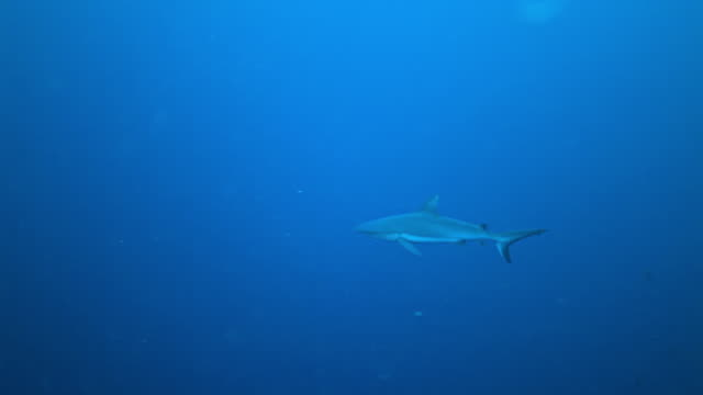 ms ts shot of grey reef shark swimming against blue water / sipadan, semporna, tawau, malaysia - grey reef shark stock videos & royalty-free footage