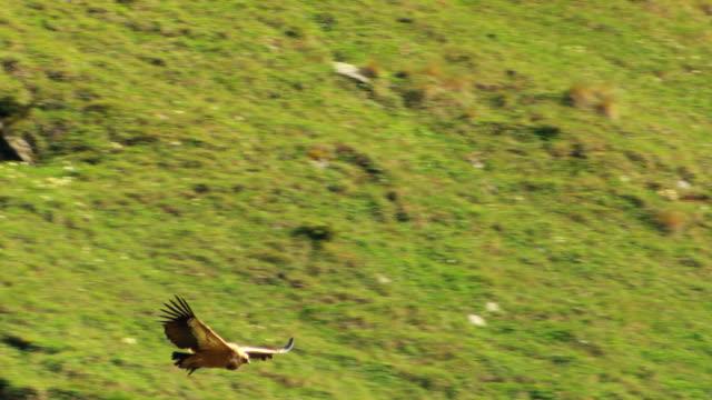 ms ts shot of griffon vulture (gyps fulvus) gliding overhead with high mountains / stepantsminda, kazbegi, georgia - utfällda vingar bildbanksvideor och videomaterial från bakom kulisserna