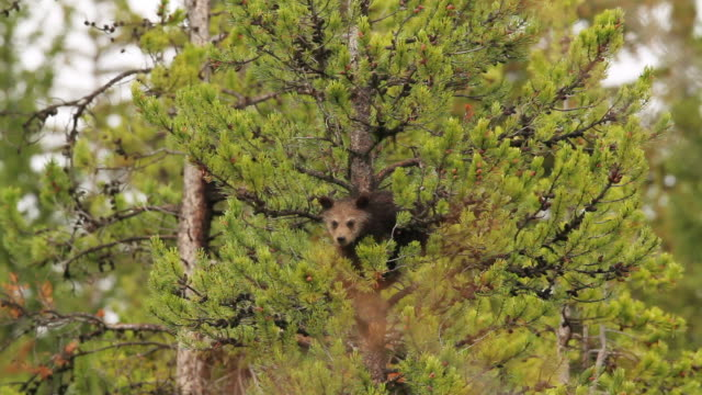 ms shot of grizzly bear cub climbing on pine tree / tetons, wyoming, united states - grizzlybär stock-videos und b-roll-filmmaterial