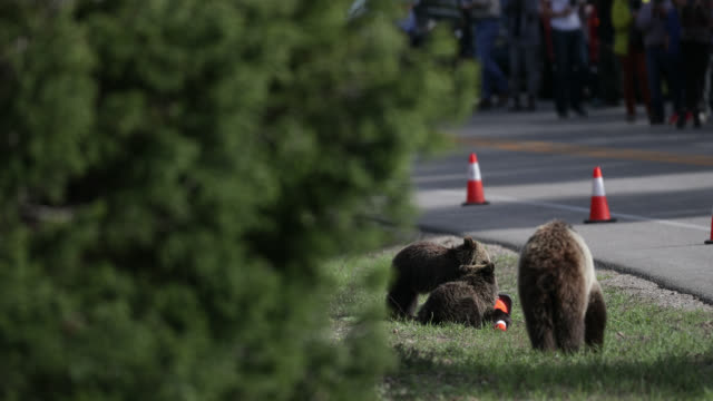 WS 4K  shot of grizzly bear cubs (Ursus arctos) playing with cones in the road as tourist watch