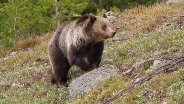 ms shot of grizzly bear foraging in meadow / tetons, wyoming, united states - foraging stock videos and b-roll footage