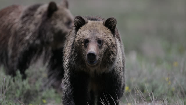 ts  4k  shot of grizzly bear subadults (ursus arctos) walking up to the camera - north america stock videos & royalty-free footage