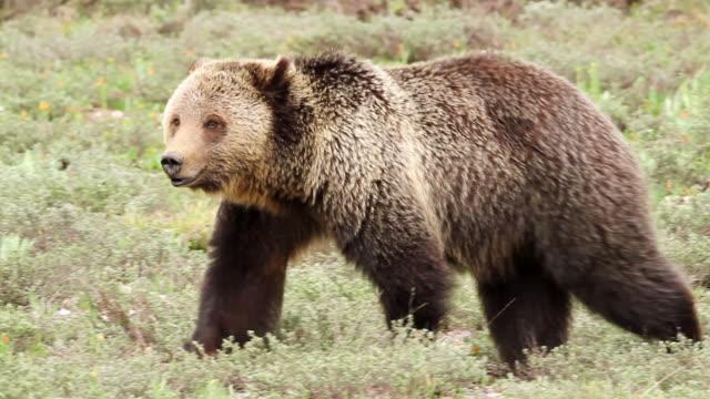 MS TS Shot of grizzly bear walking in sagebrush / Tetons, Wyoming, United States