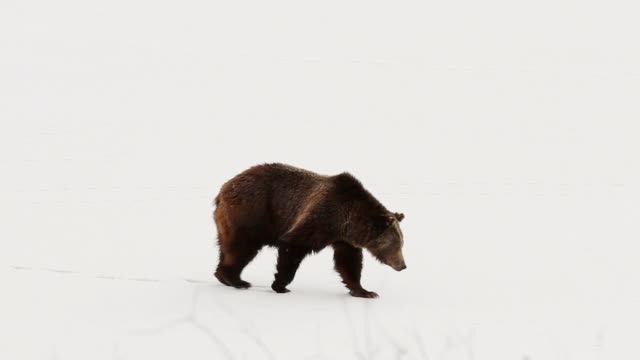 MS TS Shot of grizzly bear walking near frozen river / Tetons, Wyoming, United States
