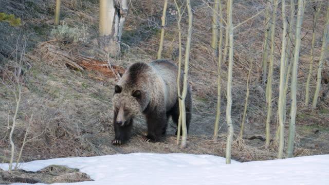 vídeos de stock e filmes b-roll de ms 4k shot of grizzly bear (ursus arctos) walking through the aspens and snow - montanhas rochosas