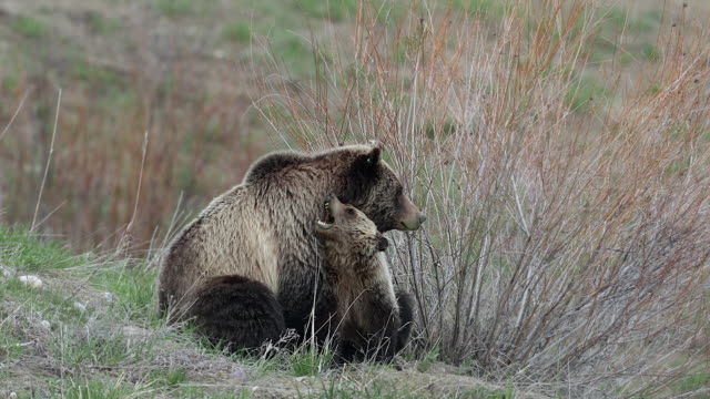 stockvideo's en b-roll-footage met ms 4k shot of grizzly bear with cub (ursus arctos) as the cub bites mom's neck - dierenfamilie