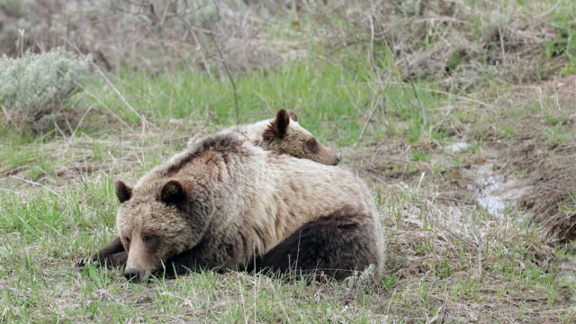 TS 4K shot of grizzly bear with cub (Ursus arctos) as the cub lays on mom