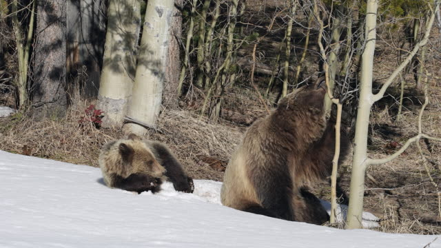 ms 4k shot of grizzly bear with cub (ursus arctos) playing in the snow - animal family stock videos & royalty-free footage