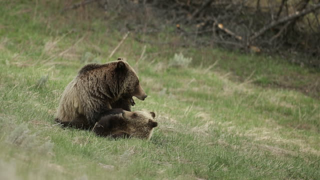 MS 4K shot of grizzly bear with cub (Ursus arctos) playing on the hillside