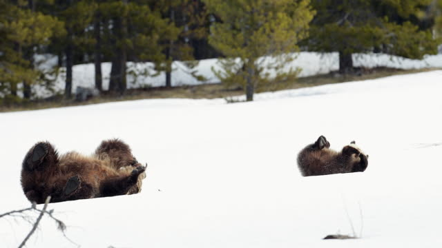 vídeos de stock, filmes e b-roll de ms 4k shot of grizzly bear with cub (ursus arctos) rolling in the snow - b roll