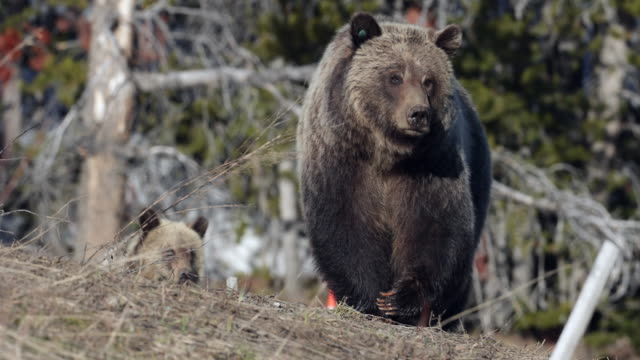 ts 4k shot of grizzly bear with cub (ursus arctos) walking over a ridge toward the camera - grizzlybär stock-videos und b-roll-filmmaterial