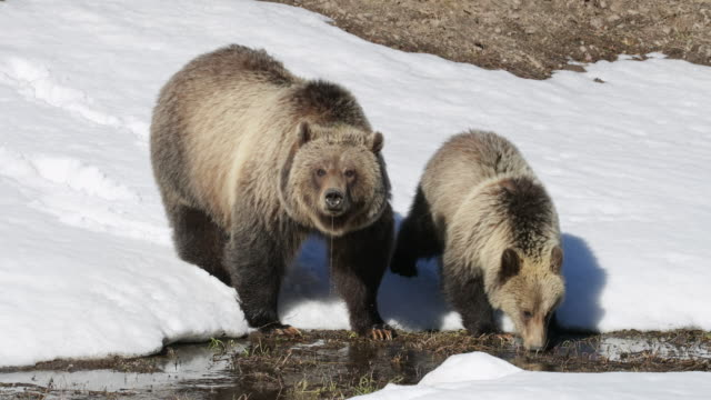 MS/TS shot of grizzly bear with cub (Ursus arctos) walking through the fresh snow and drinking water