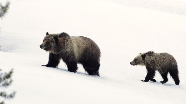ms 4k shot of grizzly bear with cub (ursus arctos) walking through the fresh snow - animal family stock videos & royalty-free footage