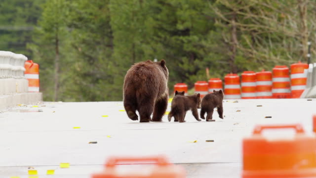 ms pan shot of grizzly bear with three spring cubs crossing through bridge construction zone / tetons, wyoming, united states - grand teton national park stock videos & royalty-free footage