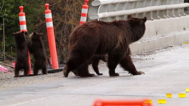 ms pan shot of grizzly bear with three spring cubs crossing through bridge construction zone / tetons, wyoming, united states - parco nazionale del grand teton video stock e b–roll