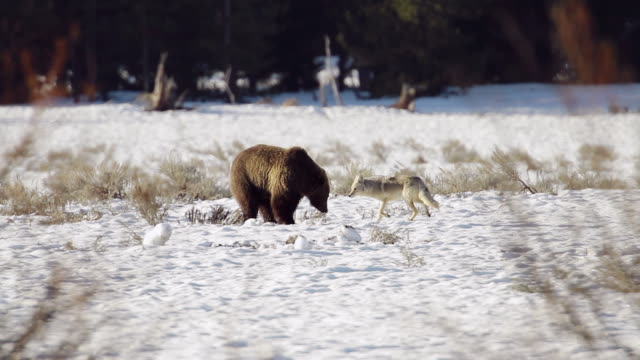 WS Shot of grizzly boar attempts to grub while coyote harasses him / Tetons, Wyoming, United States