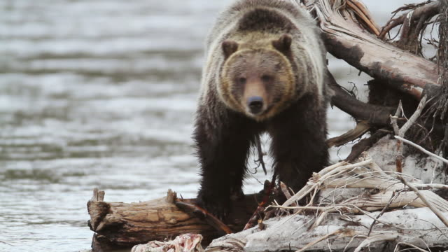 stockvideo's en b-roll-footage met ms shot of grizzly boar eating elk carcass in river / tetons, wyoming, united states - meer dan 50 seconden