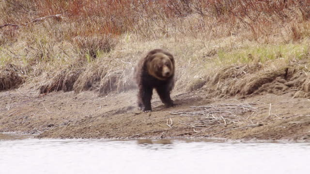 MS TS Shot of grizzly boar running along river bank / Tetons, Wyoming, United States