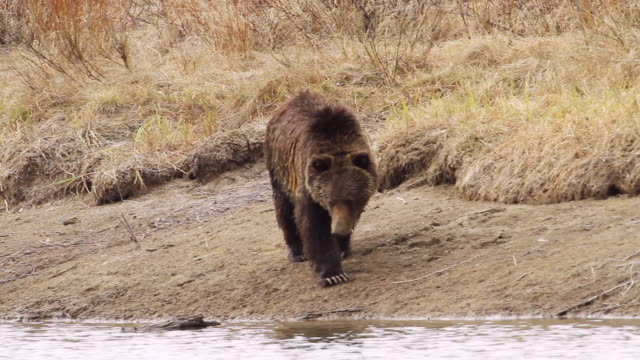 MS TS Shot of grizzly boar walking along river bank and stops to playing with log / Tetons, Wyoming, United States