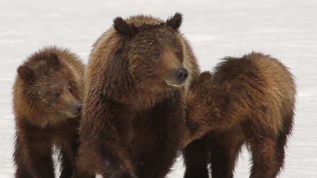 ms ts  shot of grizzly sow and 2 cubs (ursus arctos) walking toward the camera in fresh snow - mt moran stock videos & royalty-free footage