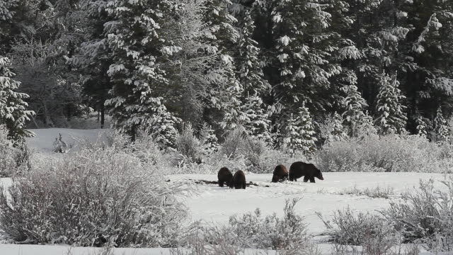 ws  shot of grizzly sow and 3 cubs (ursus arctos) grubbing after emerging from the den in a fresh snowfall - mt moran stock videos & royalty-free footage