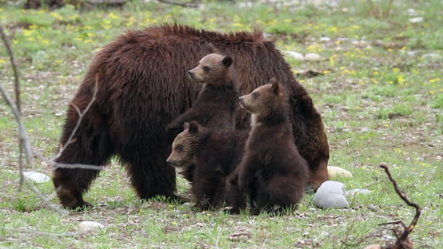 ms ts  shot of grizzly sow and 3 cubs (ursus arctos) mom grazing while cubs stand at attention - mt moran stock videos & royalty-free footage