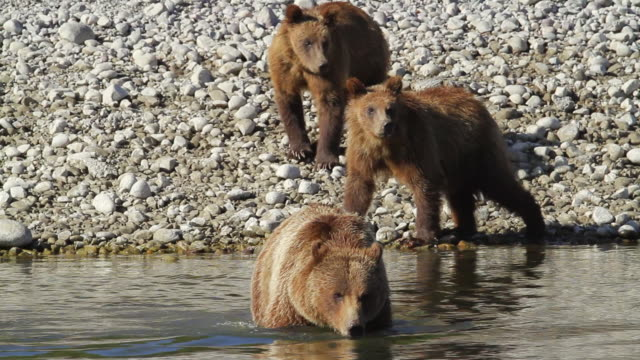 MS Shot of grizzly sow and cubs cross Snake River / Tetons, Wyoming, United States